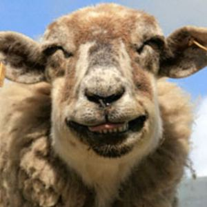 A happy sheep