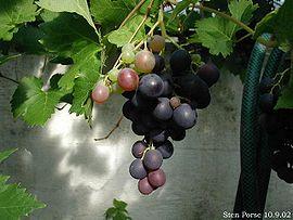 270px-vitis-vinifera